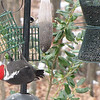 Pileated Woodpecker Loves the Suet