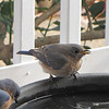 Female Eastern Bluebird at Birdbath