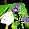 Cabbage White Butterfly on Caryopteris in Bright Sunlight