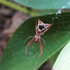 Beautiful Red Spider Looks Painted - Arrowshaped Micrathena