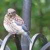 Juvenile Eastern Bluebird Recently Fledged
