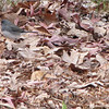 Dark-eyed Junco in the Leaves on Christmas Day