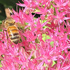 Bee on Stonecrop Sedum