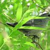 Gray Catbird in the Willow Tree