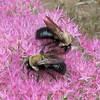 Snuggle Bees on Stonecrop Sedum