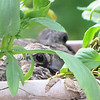 Baby Mourning Doves at Neighbor's House