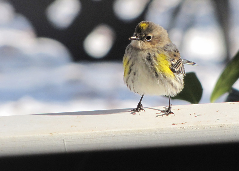 Yellow-rumped Warbler on Tippy Toes - Front Porch