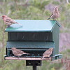 House Finches in the Snow - Christmas Day