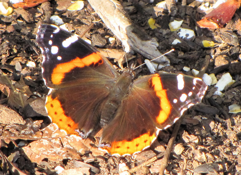 Red Admiral Butterfly at Rotting Apples We Put Out