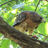 """Red-shouldered Hawk Dining on Green Frog From Our Pond<br>View <a href=""""http://www.thenatureinus.com/2010/09/red-shouldered-hawk-dining-on-green.html"""">Online Story About the Hawk</a>"""