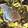 Red-spotted Purple Admiral Butterfly - Interesting How the Wing is Shimmering Blue at the Right Angle