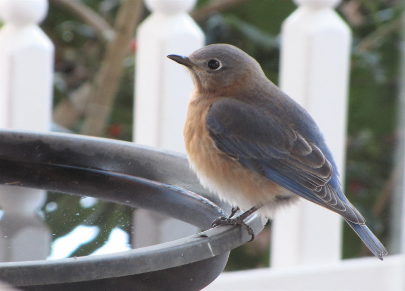 Eastern Bluebird at Birdbath