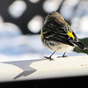 Rear View of Yellow-rumped Warbler on Front Porch