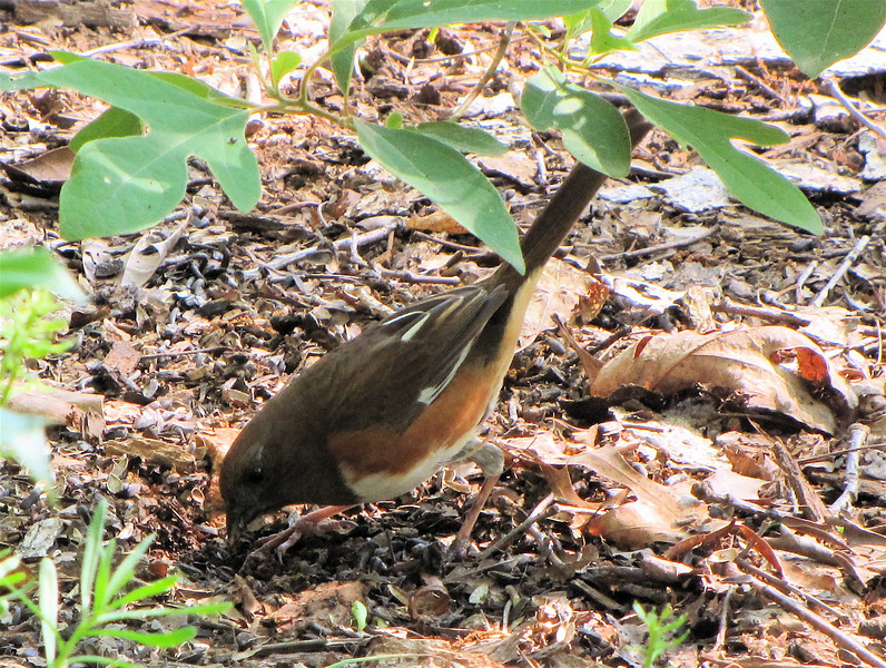 Rufous-sided Towhee in the Shadows