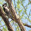 Downy Woodpecker in Black Willow Tree