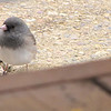 Dark-eyed Junco on Front Walkway on Christmas Day