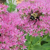 Busy Bees on Stonecrop Sedum - There are up to a dozen on each pot of sedum on the deck