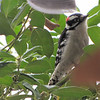 Downy Woodpecker in Holly Tree Waiting Turn on the Suet Feeder - Christmas Day