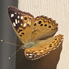 Hackberry Emperor Butterfly - My First