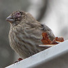 Female House Finch with Conjunctivitis Eye Disease - It seems to be a common pattern for them to perch on a gutter, possibly hoping for a hawk to take them out of their misery