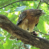 """Red-shouldered Hawk Dining on Green Frog From Our Pond -- View <a href=""""http://www.thenatureinus.com/2010/09/red-shouldered-hawk-dining-on-green.html"""">Online Story About the Hawk</a>"""