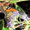 Monarch Butterfly on Caryopteris