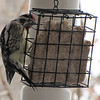Hairy Woodpecker on Suet Feeder Front Porch - Christmas Day