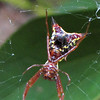 Closeup Red Spider - Arrowshaped Micrathena