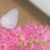 Summer Azure Butterfly on Stonecrop Sedum