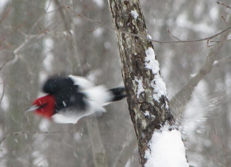 Red-headed Woodpecker Flying Off