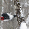 Red-headed Woodpecker Flying Off