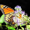 Reflection of Caryopteris on Monarch Butterfly