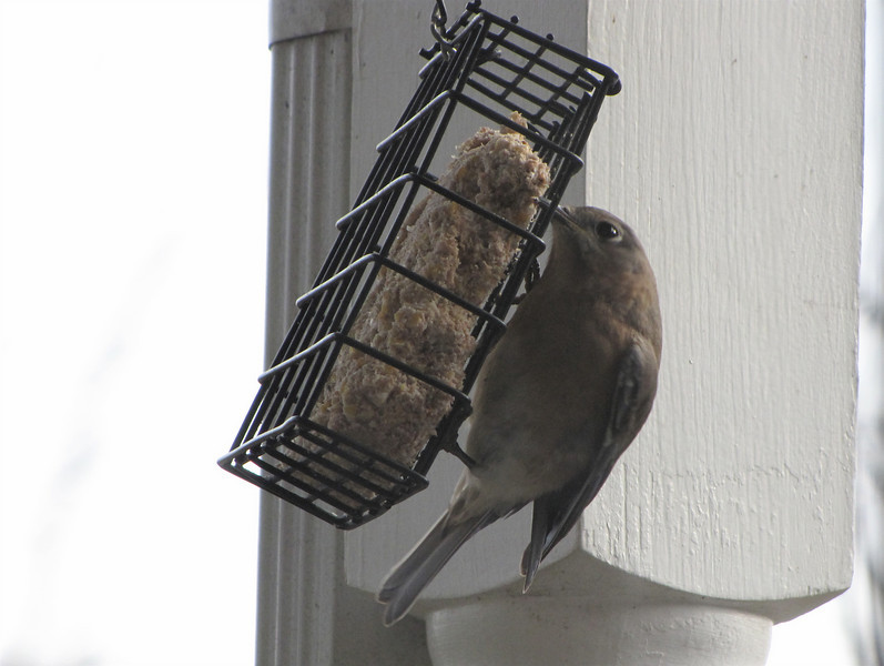 Female Eastern Bluebird on Suet Feeder