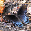 Red-spotted Purple Admiral Butterfly Eating Rotten Apples