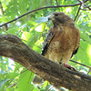 """Red-shouldered Hawk Dining on Green Frog From Our Pond View <a target=""""_blank"""" href=""""http://www.thenatureinus.com/2010/09/red-shouldered-hawk-dining-on-green.html"""">Online Story About the Hawk</a>"""