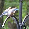 Eastern Bluebird Fledgling Awaiting Feeding From Parent