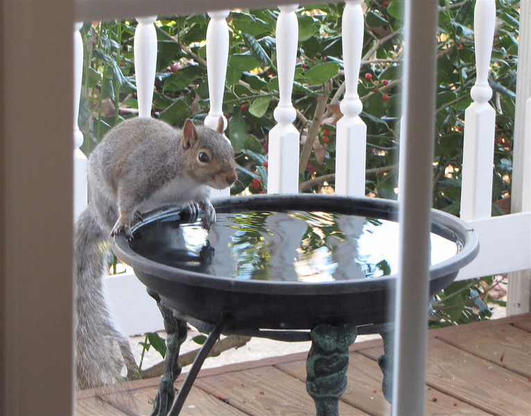 Squirrel at Heated Birdbath