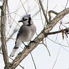 Blue Jay on Cloudy Day in Willow Tree