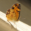 Pearl Crescent Butterfly, Closed Wings