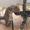 Squirrel Stretching Tall to Eat From Birdseed Pan
