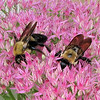 Bees in Sedum - Snug As a Bug In a Rug