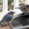 Mr. and Mrs. Eastern Bluebird at Birdbath