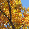 Autumn Colors of Chestnut Oak in Front Yard