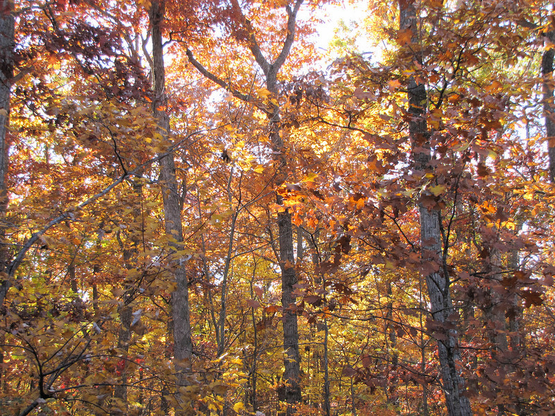 Back Woods Ablaze With Fall Colors and Sunshine