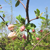 First Year the Mystery Tree From the Birds Has Bloomed - Possible Crab Apple