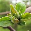 Black Locust Tree Budding in Spring