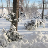Front Winter Wonderland - Mr. Cy the Leyland Cypress is Almost to the Ground