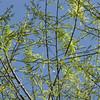Looking Skyward Through Black Willow Tree in Spring
