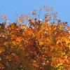 Autumn Glory with White Oak Leaves and the Sky in Front Yard
