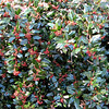 Our Holly Bush Is Loaded With Berries This Year